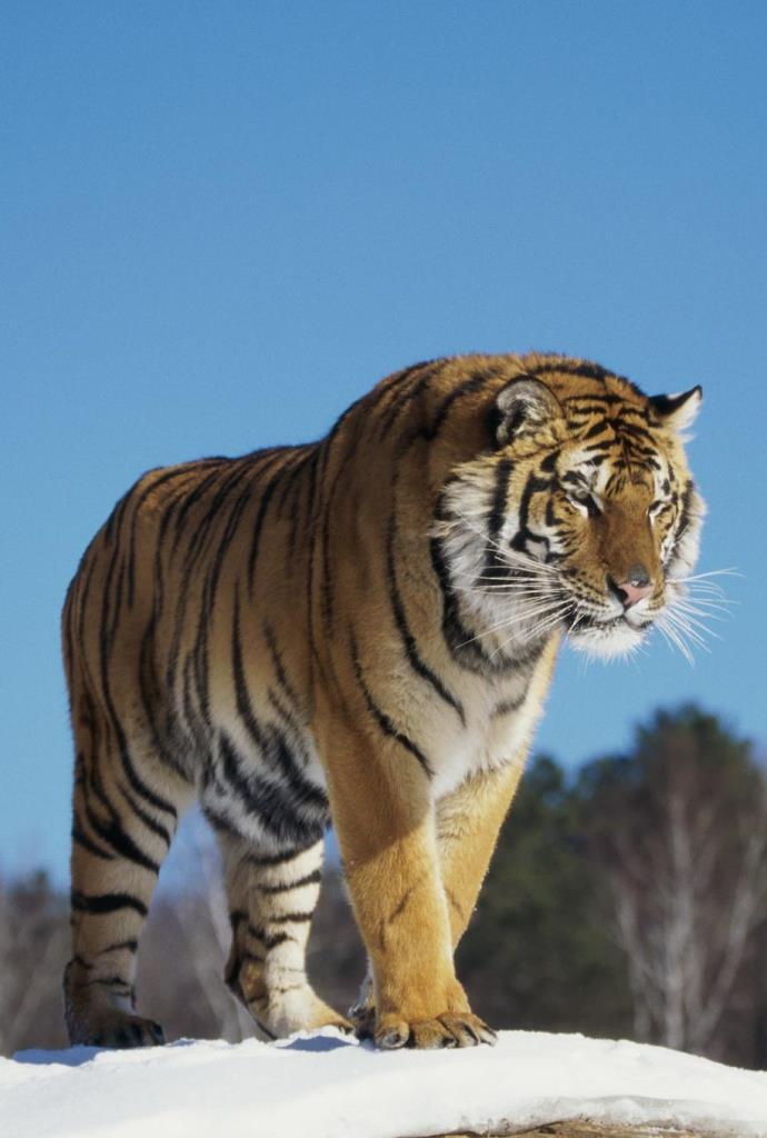 Multikino VR: Nieuchwytny tygrys